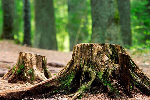Пеньки и деревья